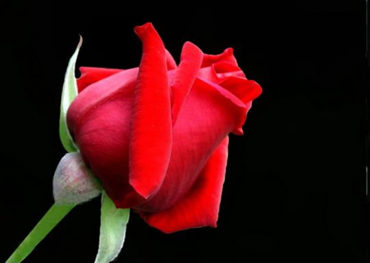 La rosa nel tango